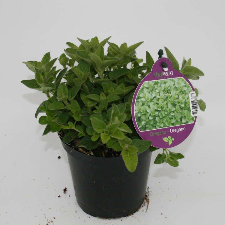 Alm. oregano  - Oreganum vulgare - 10cm potte