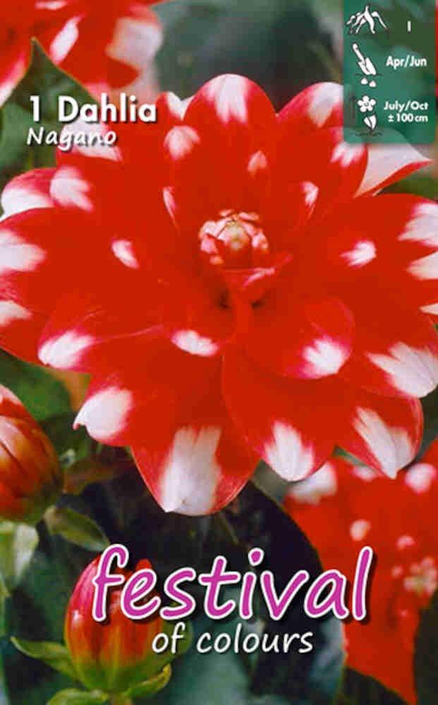 Dahlia Nagano Decorative