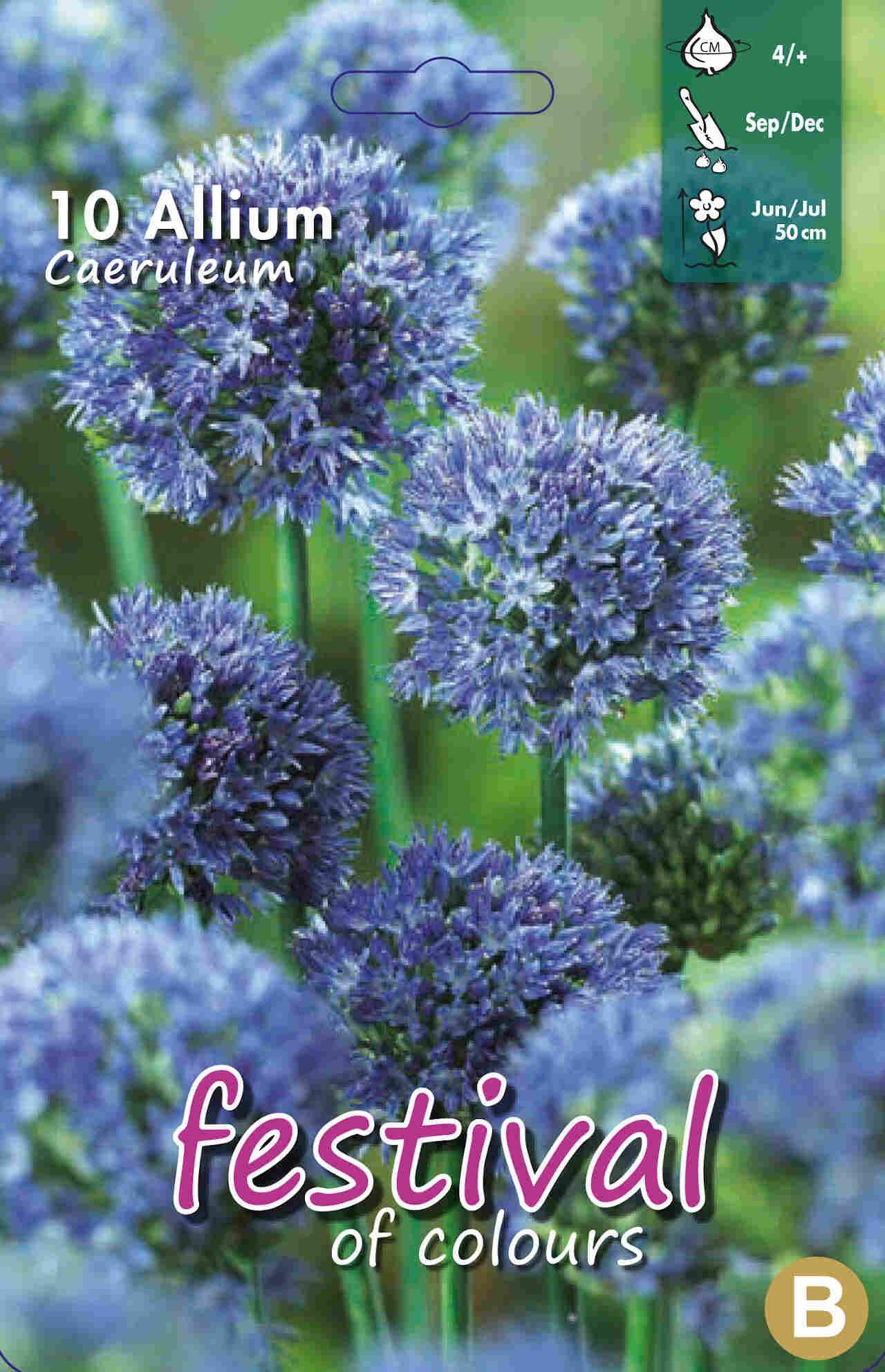 Prydløg - Allium Caeruleum 4/+