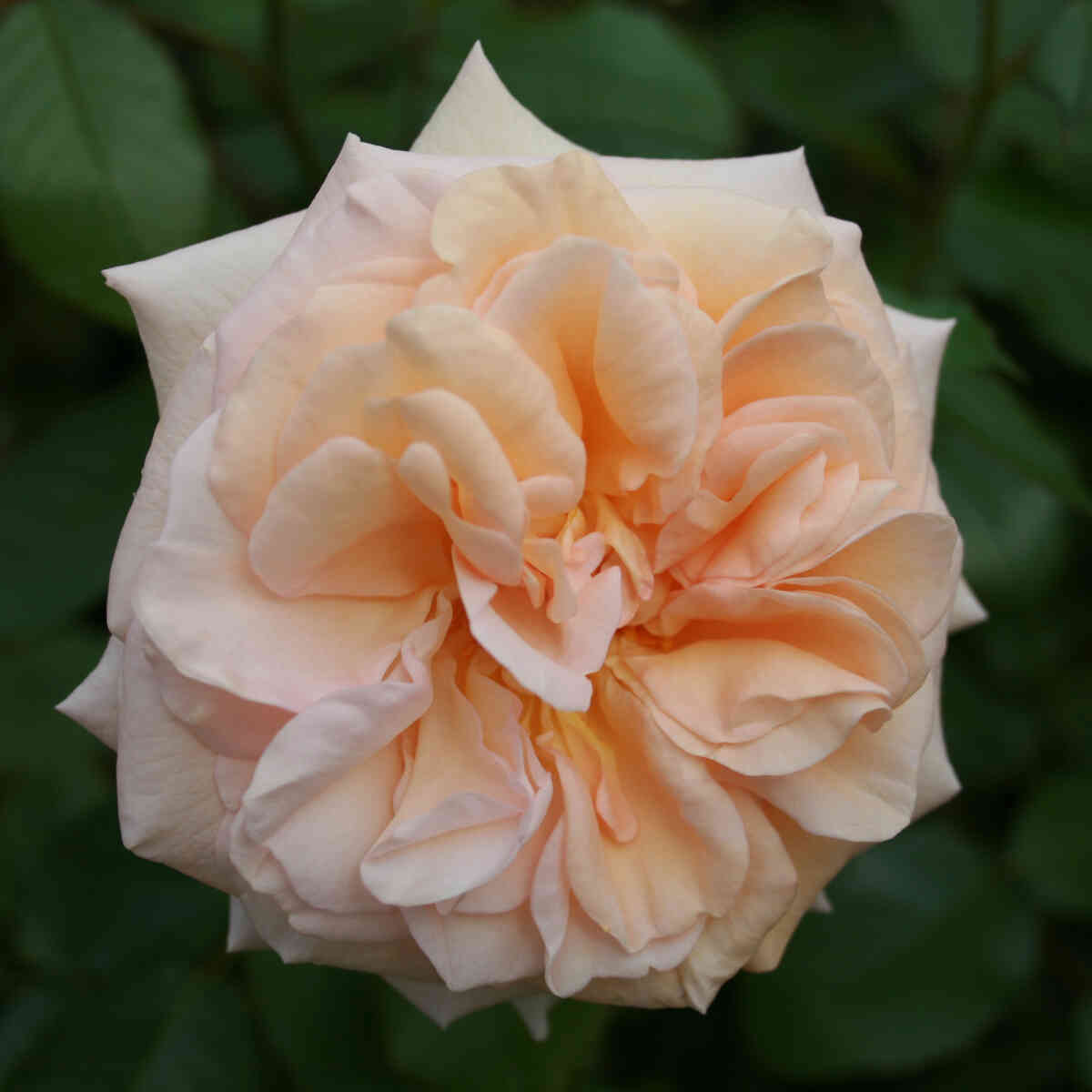 Rose 'Audienz'