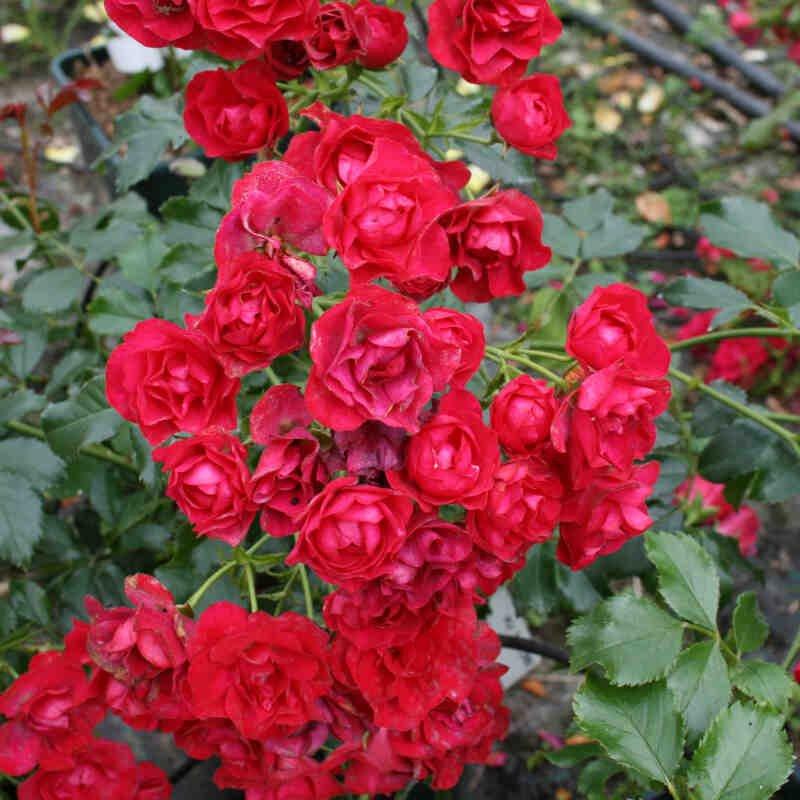 Rose Balou med røde blomster