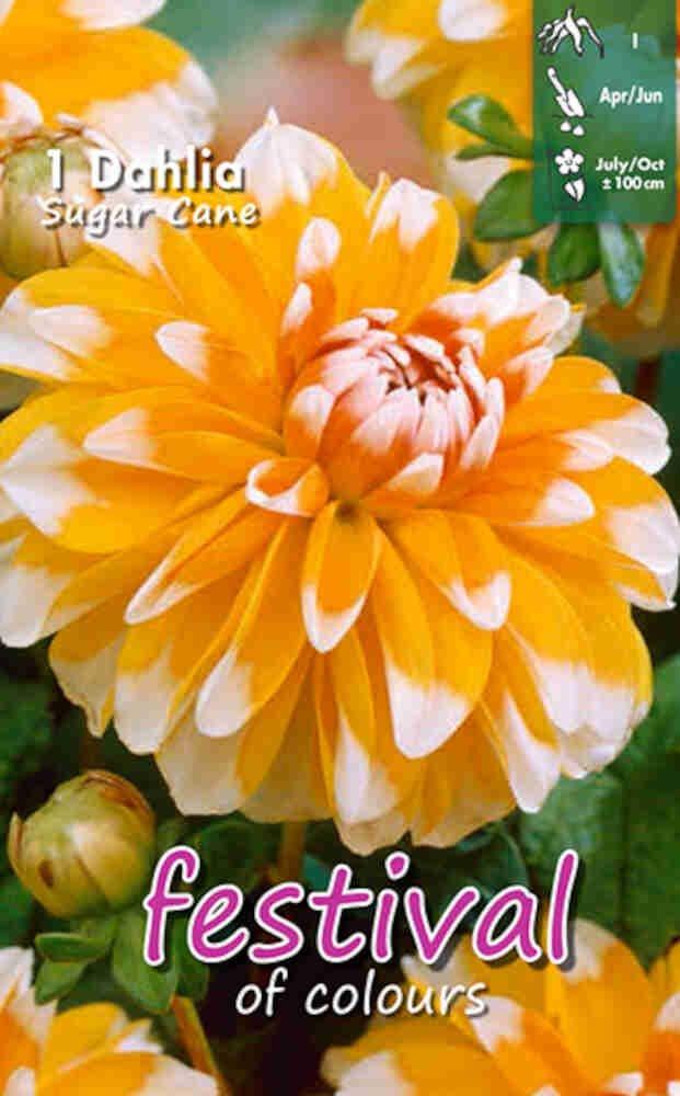Dahlia Sugar Cane Decorative