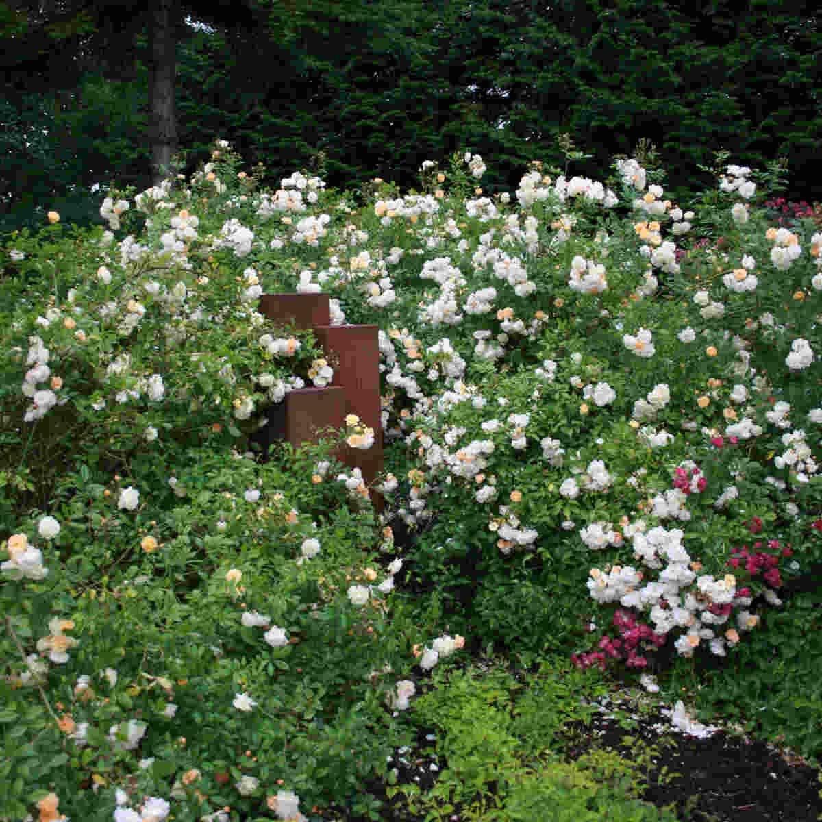 Ghislaine de Feligonde i fuld blomst i Laubjergs Rosenhave