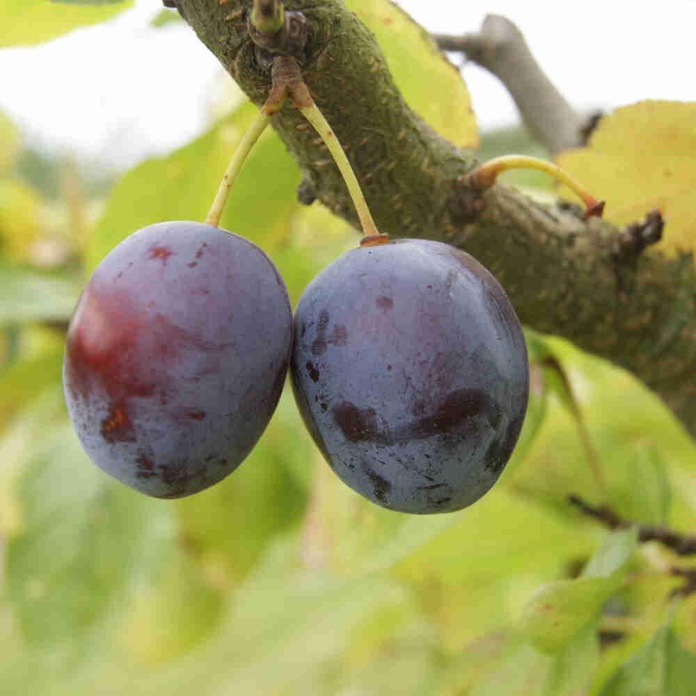 Blommetræ - Prunus domestica 'Opal'
