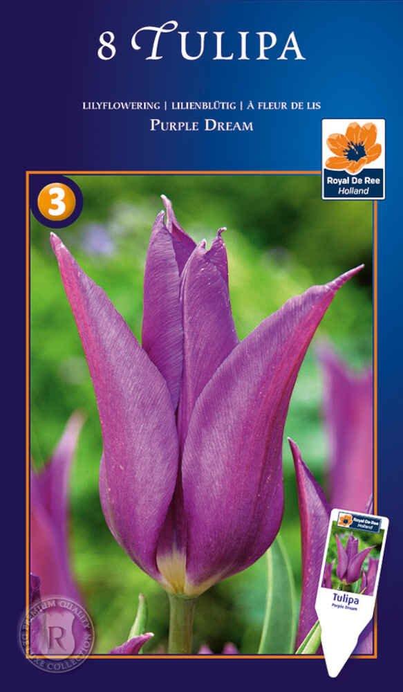 Tulipanløg - Tulipa Purple Dream 12/+