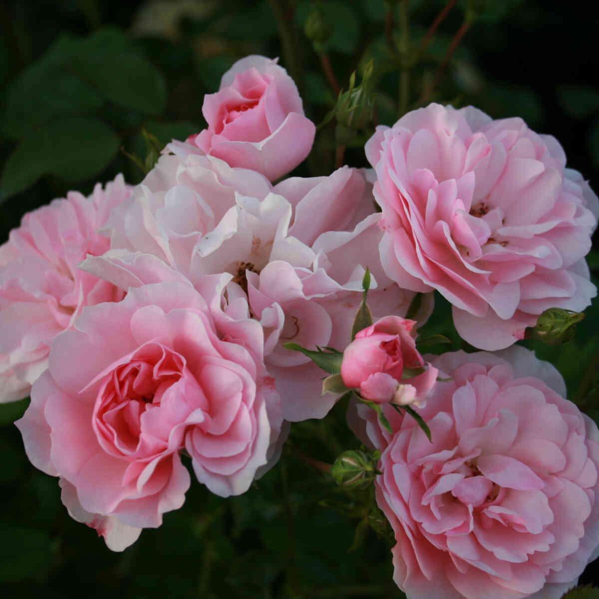 Massevis af lyserøde blomster i rosen Bonica