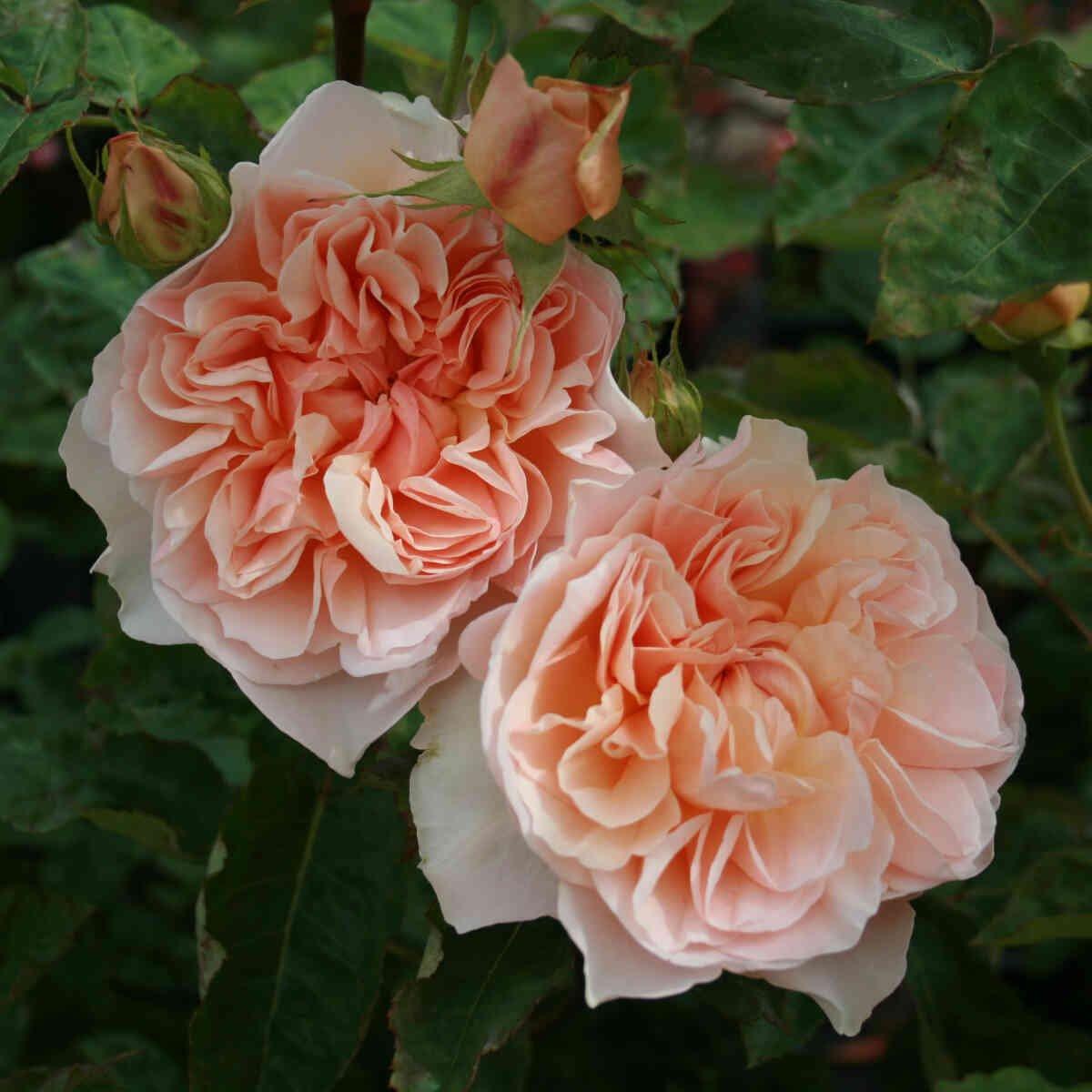 Rose 'Evelyn'