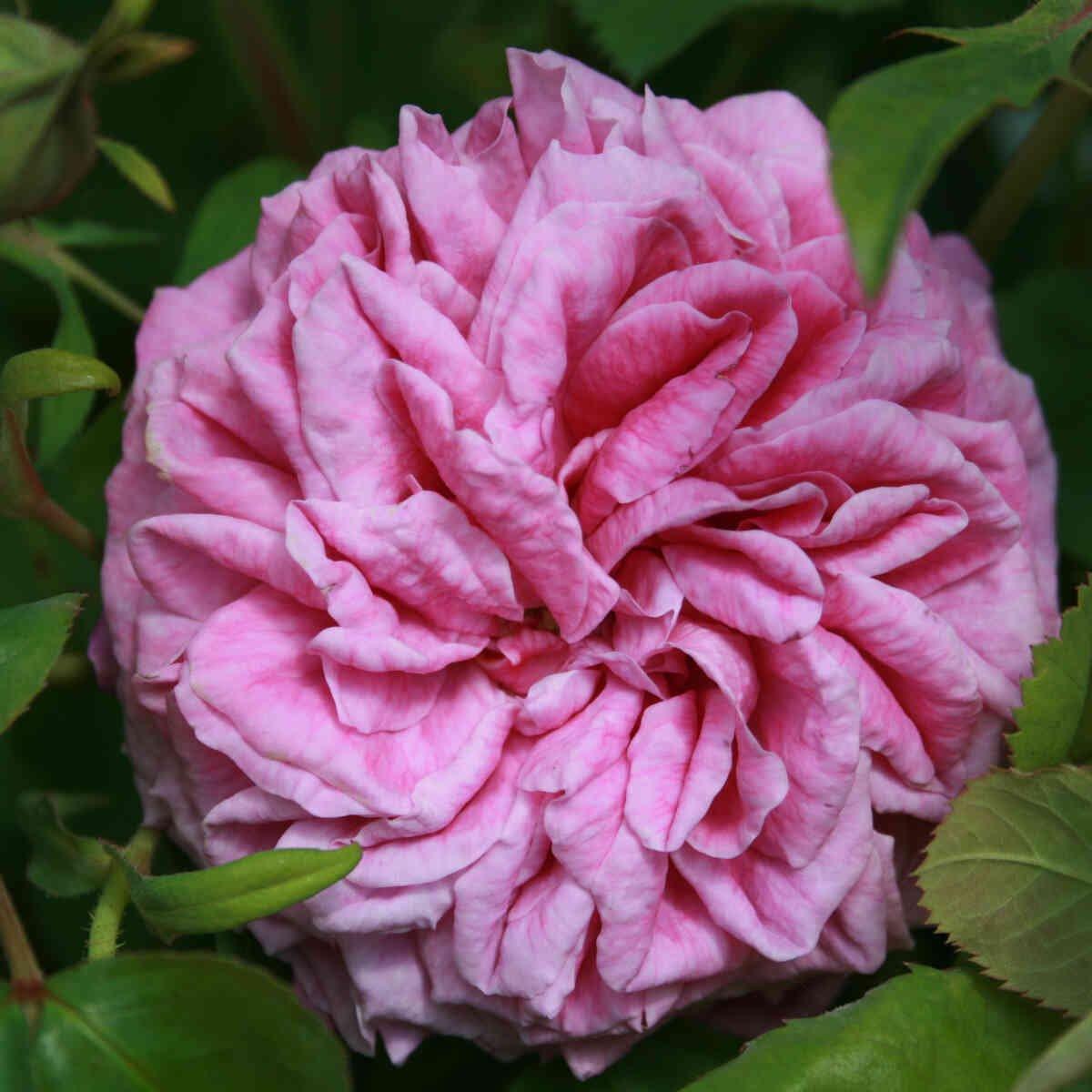 Historisk rose - Rosa 'Heroïne de Vaucluse'