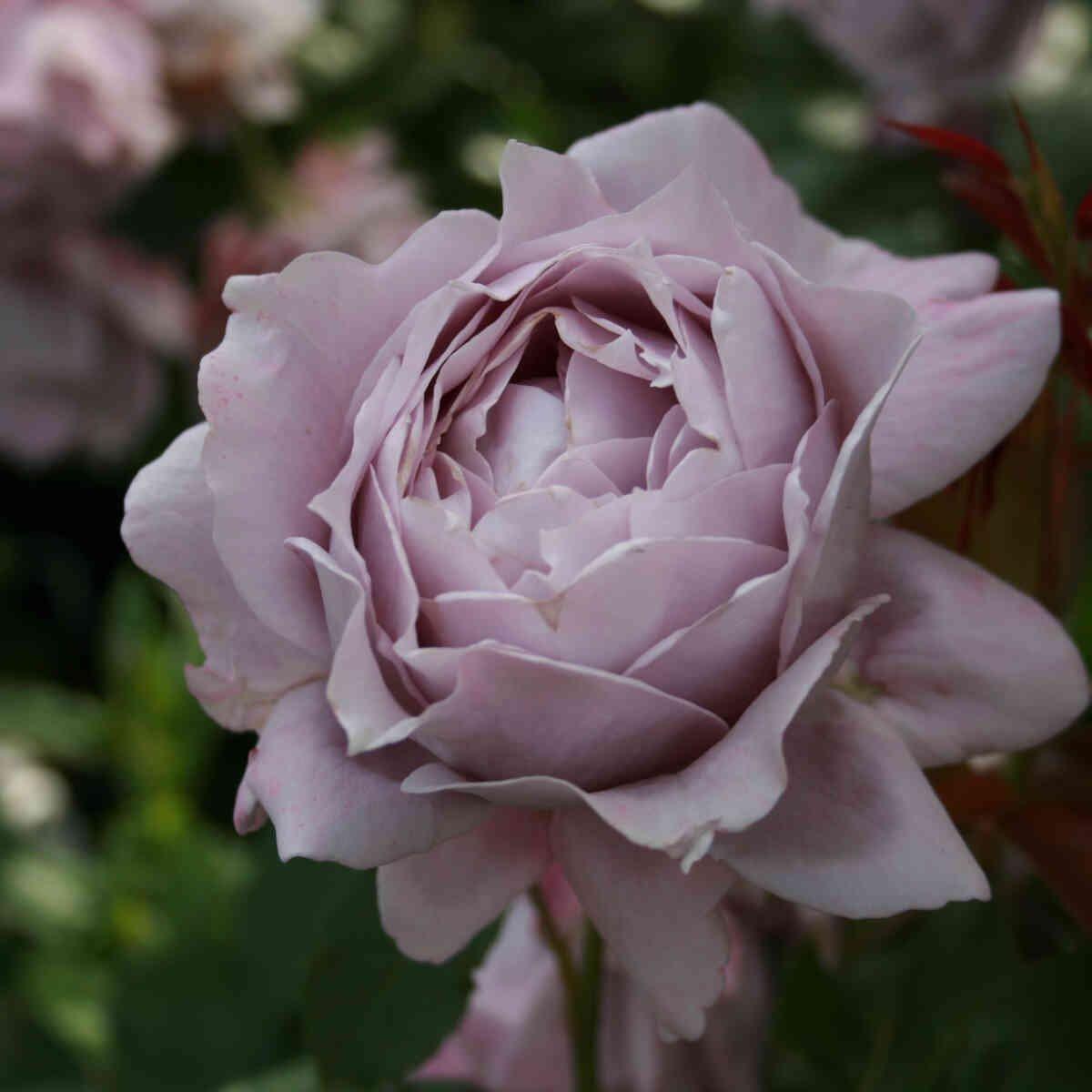 Rose 'Novalis'