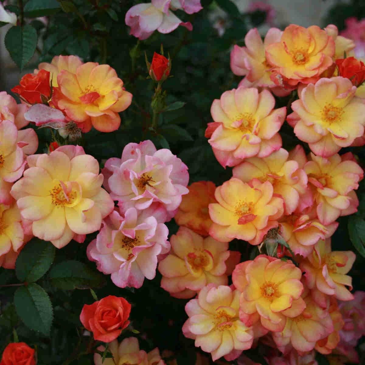 Rose 'Linnaeus'