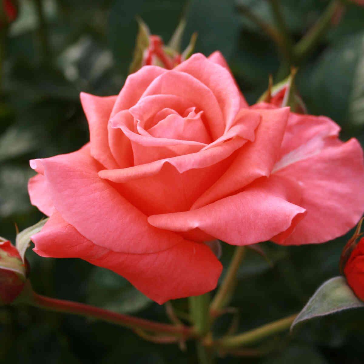 Rose 'Prinsesse Marie'