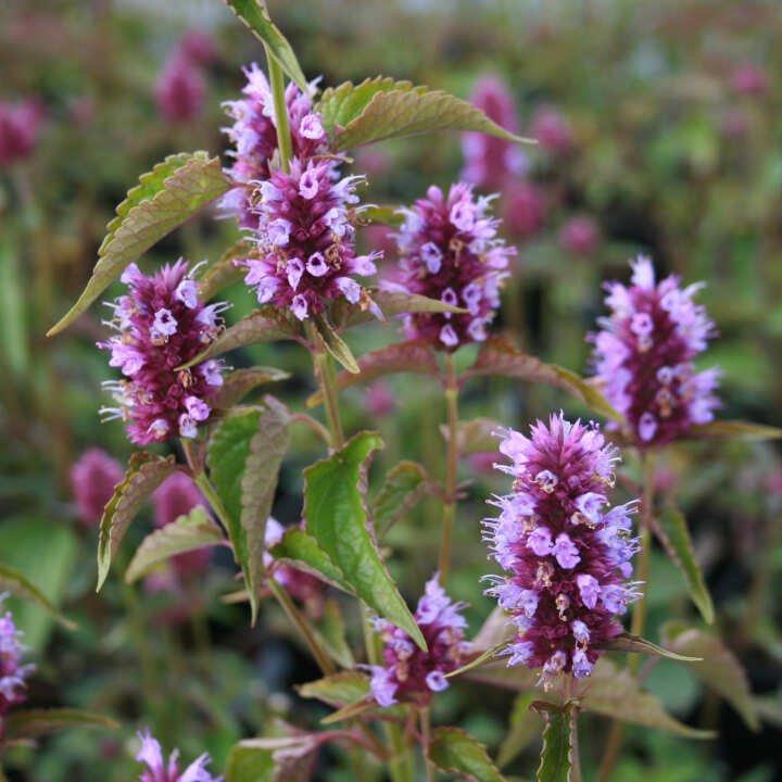 Anisisop - Agastache hybrid 'Beelicious'® Purple