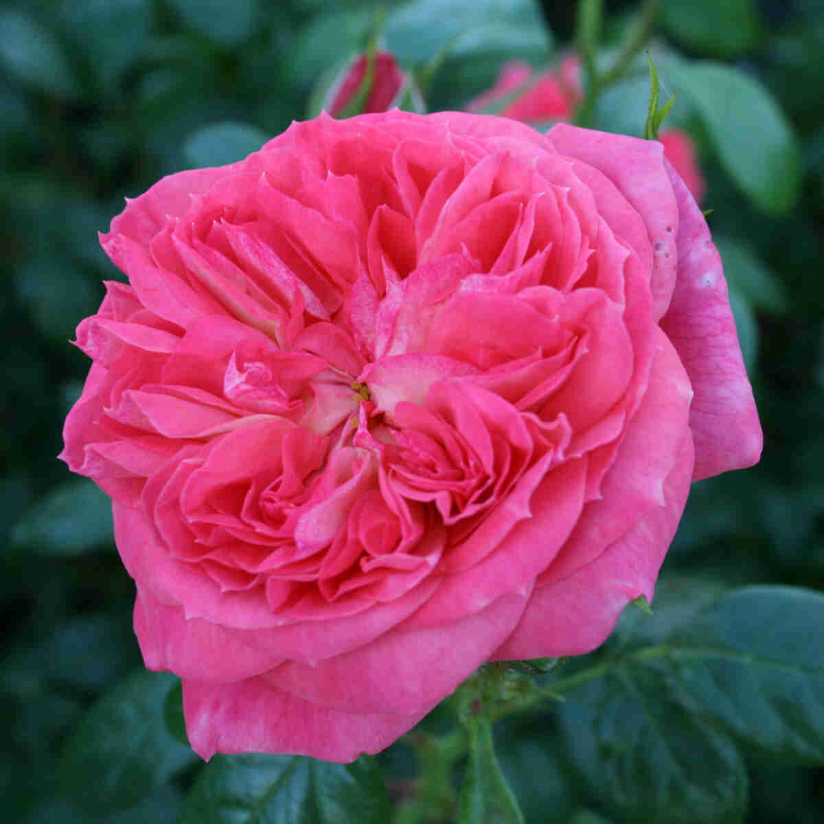 Rose 'Queen of Hearts'
