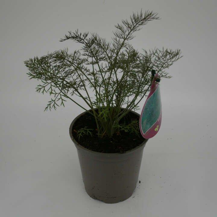 Bronzefennikel - Foeniculum vulgare 'Smokey' -10cm potte