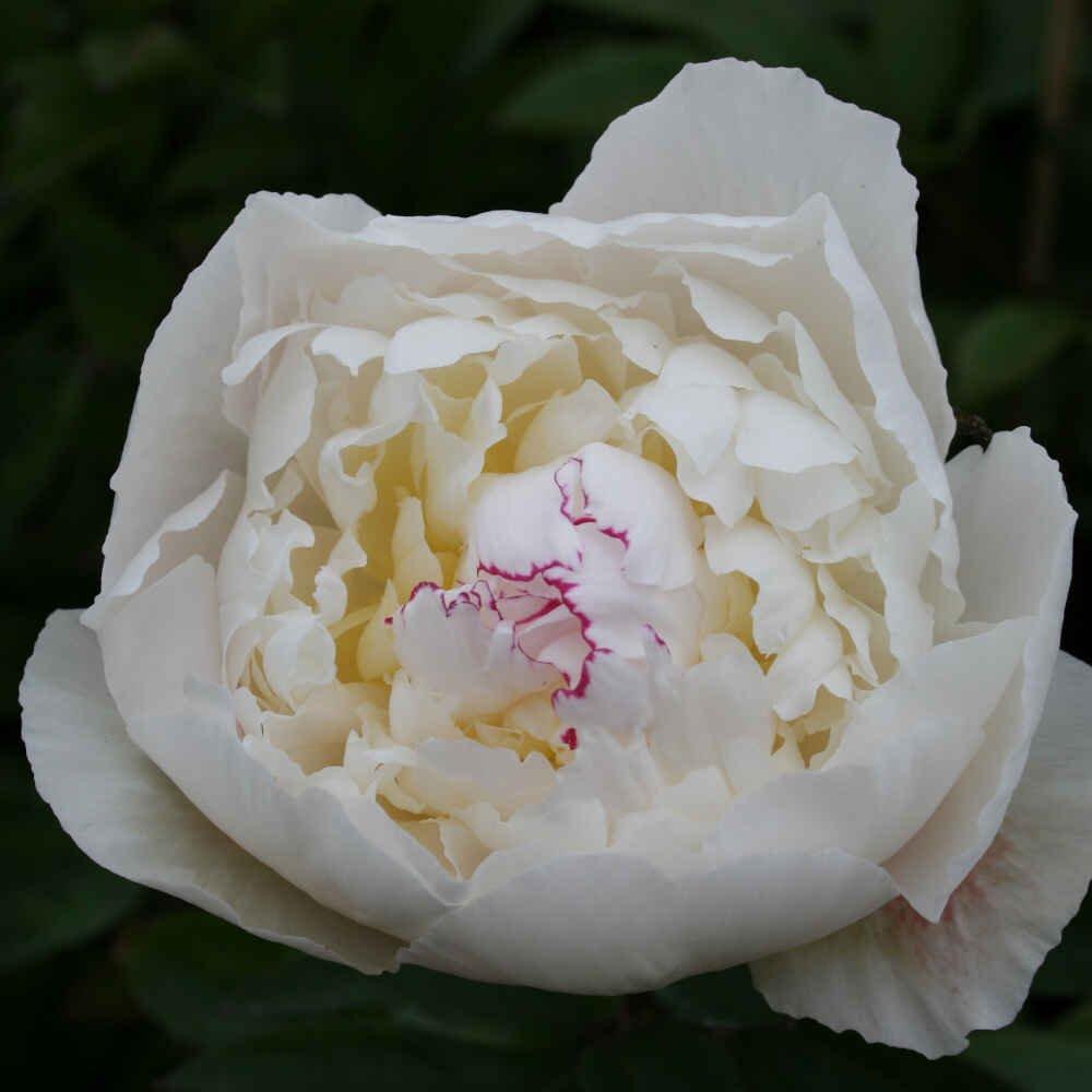 Pæon knold - Paeonia lactiflora 'Avalanche'