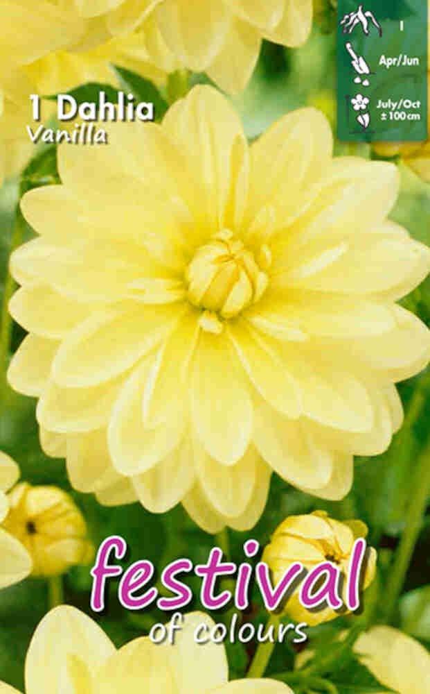 Dahlia Vanilla Decorative