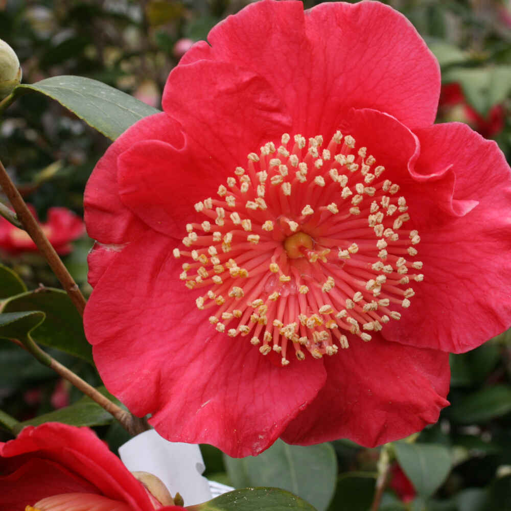 Kamelia - Camellia japonica 'Hiodoshi'