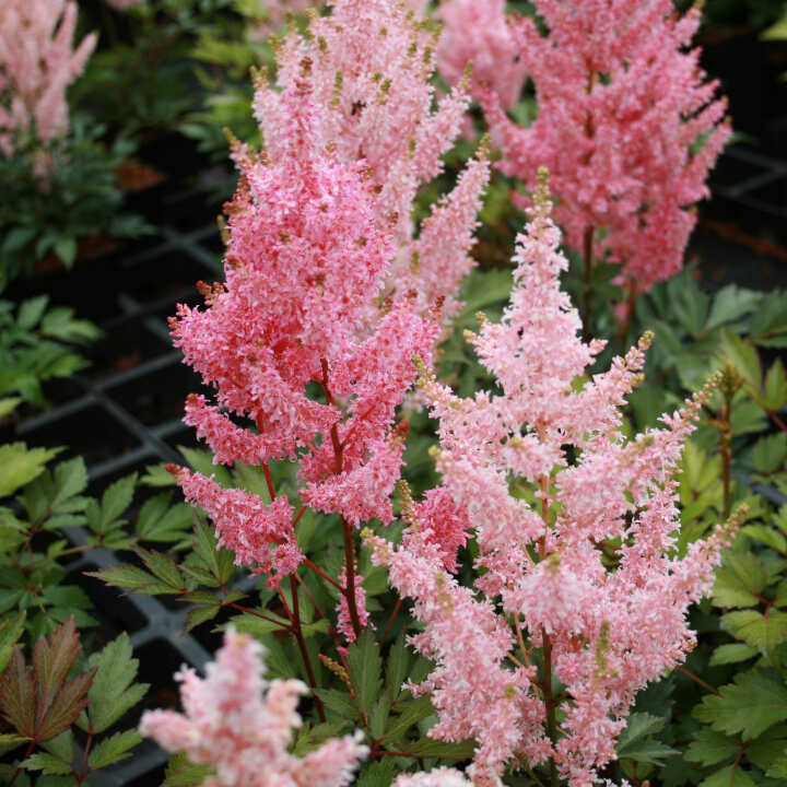 Astilbe arendsii 'Younique Salmon'®