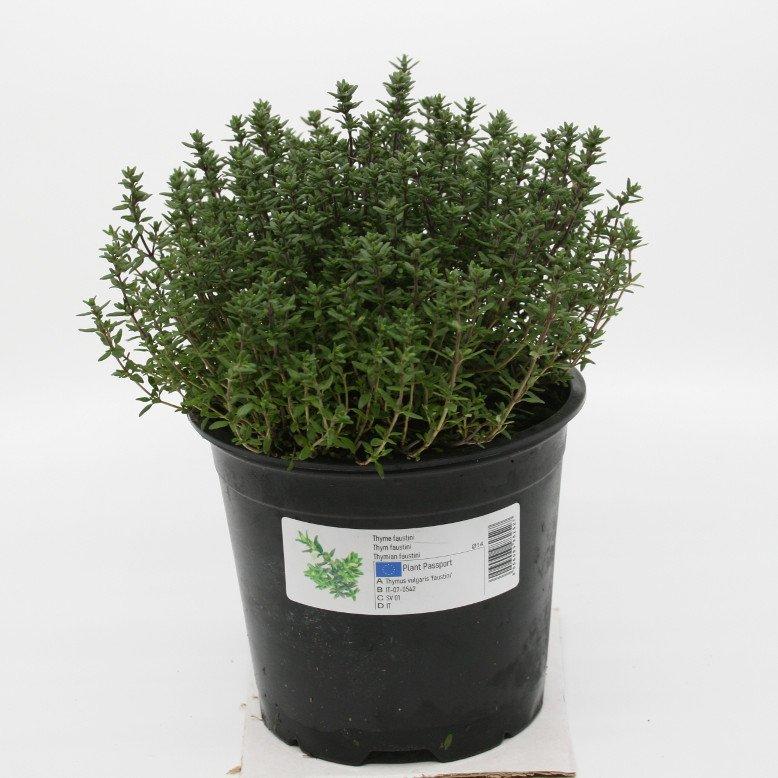 Timian vild - Thymus vulgaris var. faustinii - 14cm potte