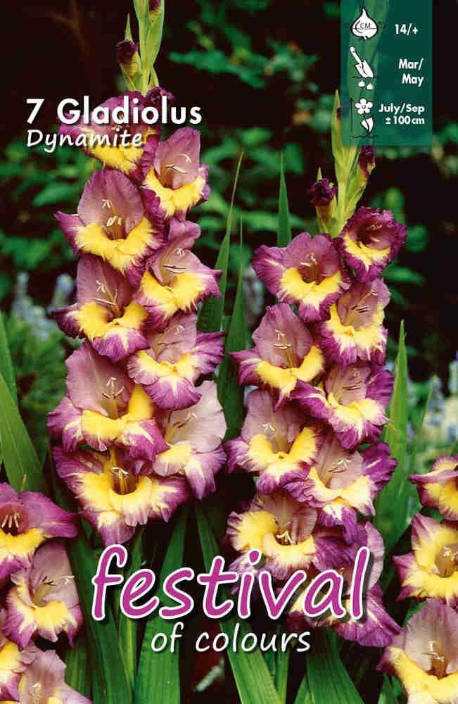 Gladiolus Dynamite large flowering, 7 stk