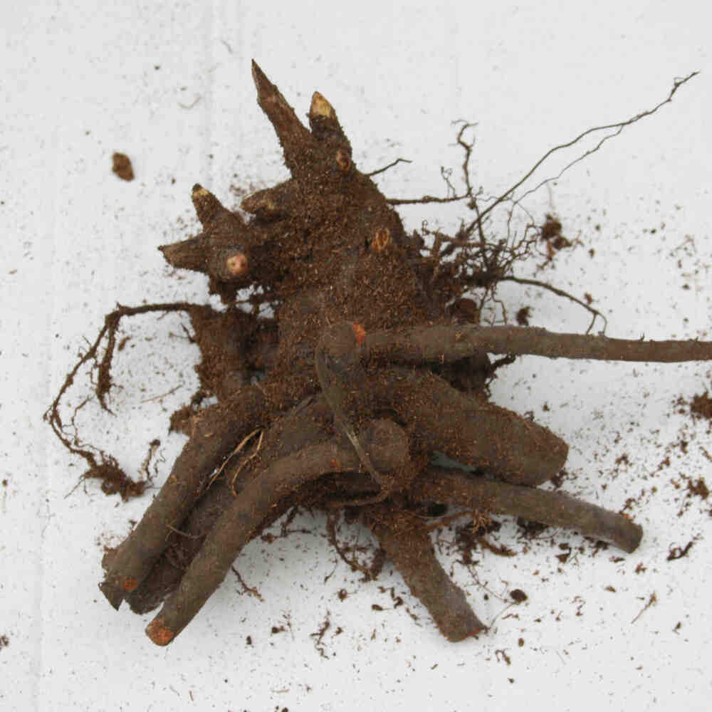 Pæon knold - Paeonia lactiflora 'Elsa Sass'