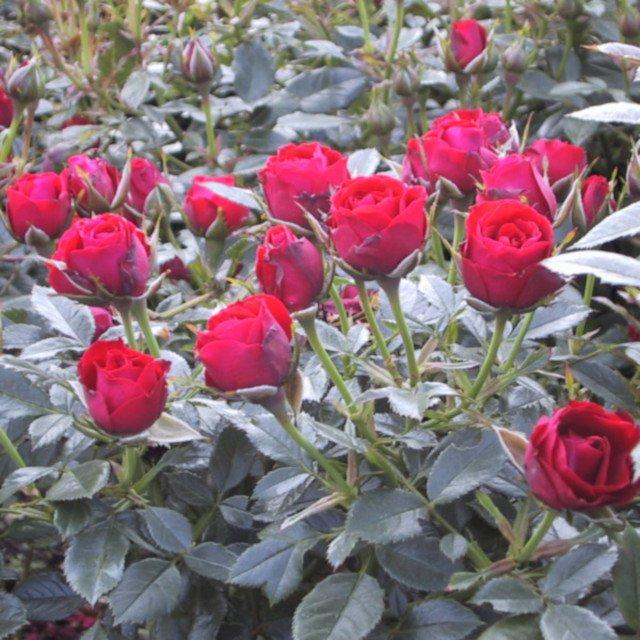 Rose 'Scarlet Hit'