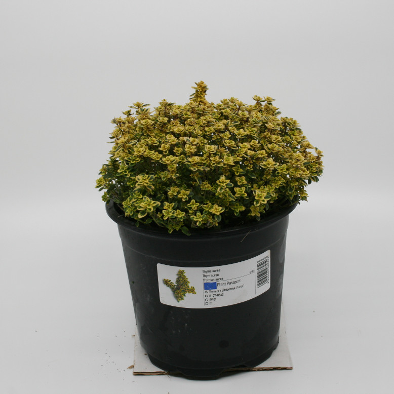 Timian gul citrontimian - Thymus citriodorus 'Aurea' - 14cm potte