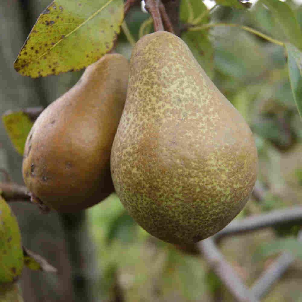 Pæretræ - Pyrus communis 'Anna'