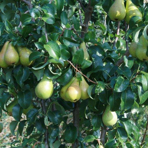 Pæretræ - Pyrus communis 'Carola'