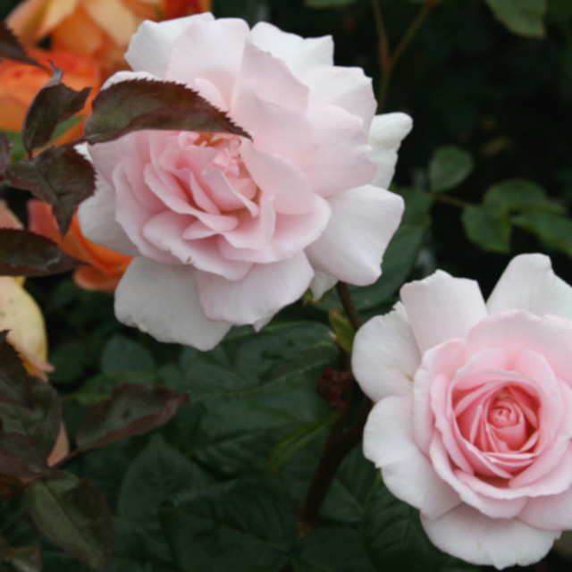 Rose 'A Whiter Shade of Pale'