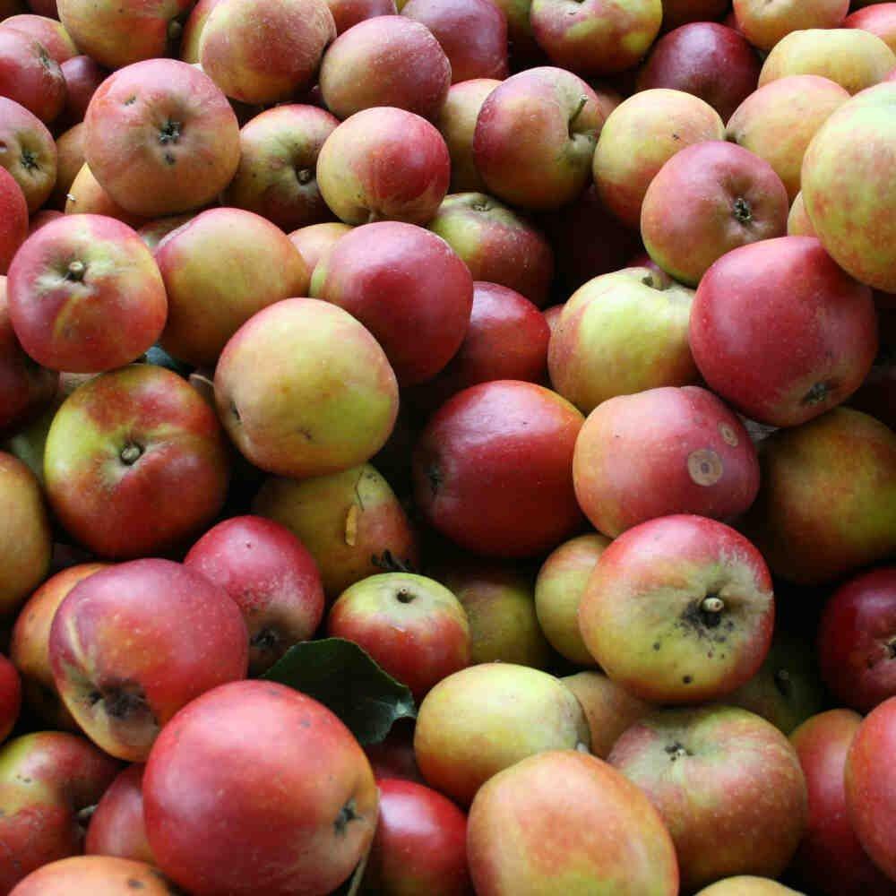 Æbletræ - Malus domestica 'Holsteiner Cox'