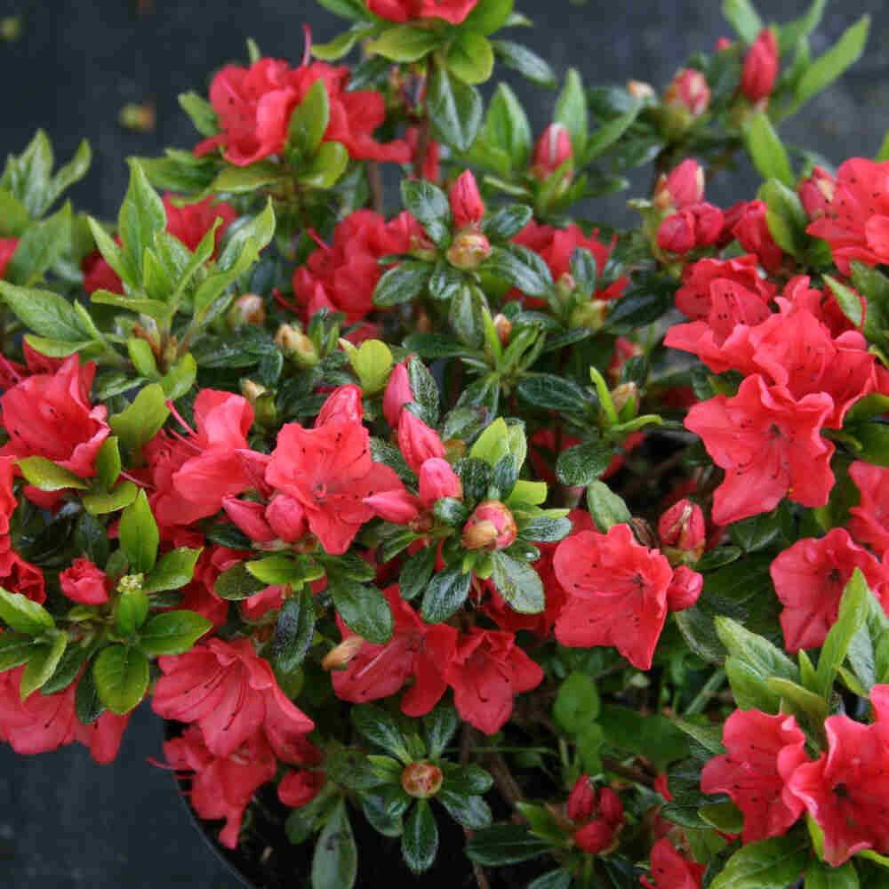 Japansk azalea - Rhododendron japonica 'Geisha Orange'