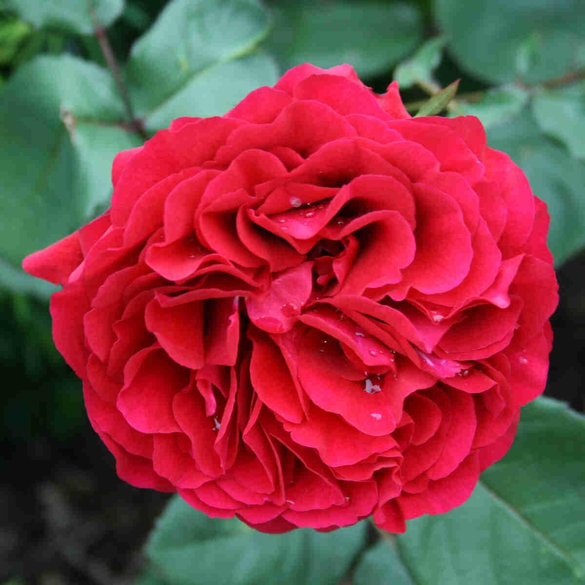 Rose 'Nadia Renaissance'