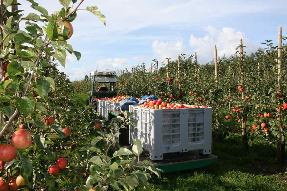 Plukkevognen er fuld med æbler hos Vesterhavsmost
