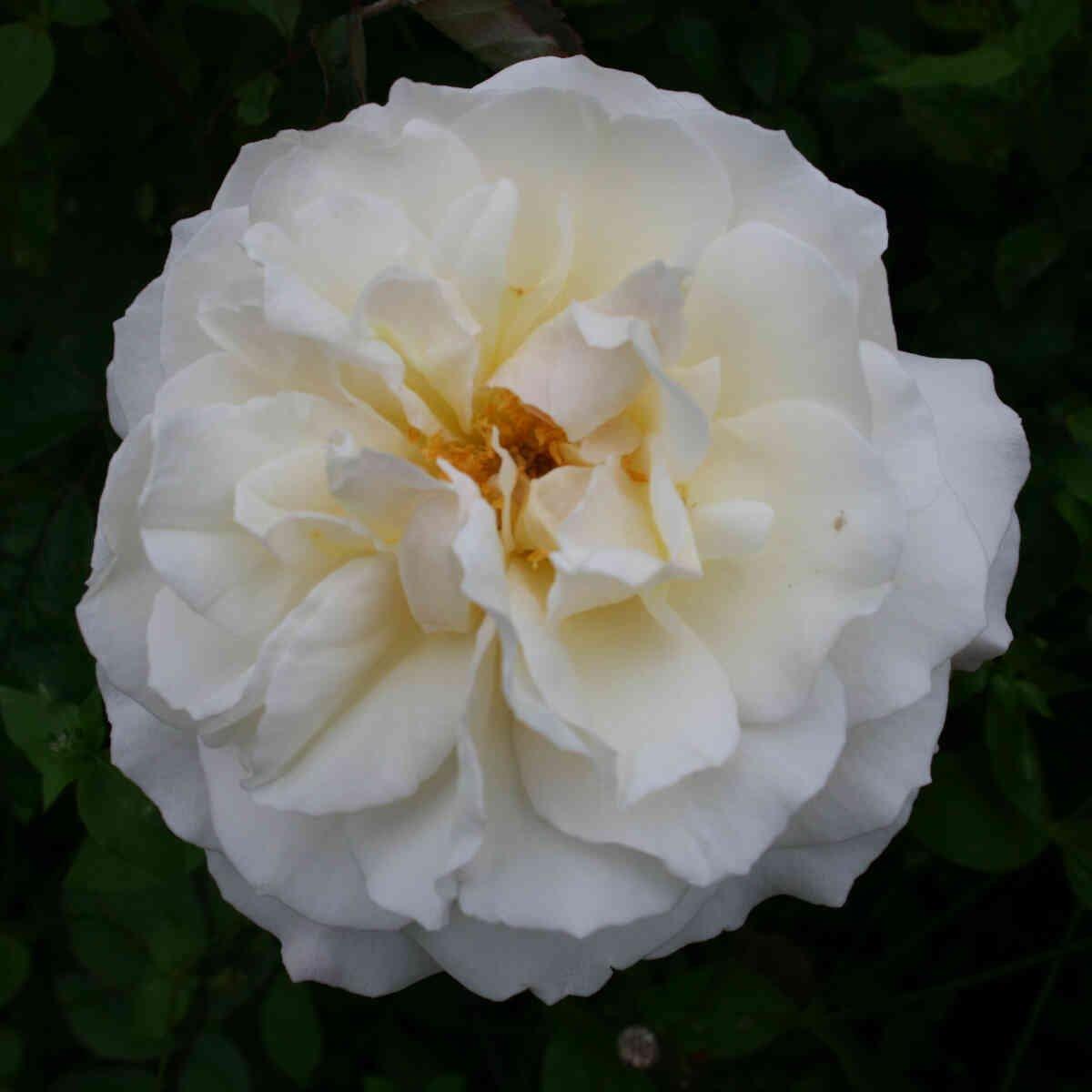 Rose 'Gruss an Aachen'