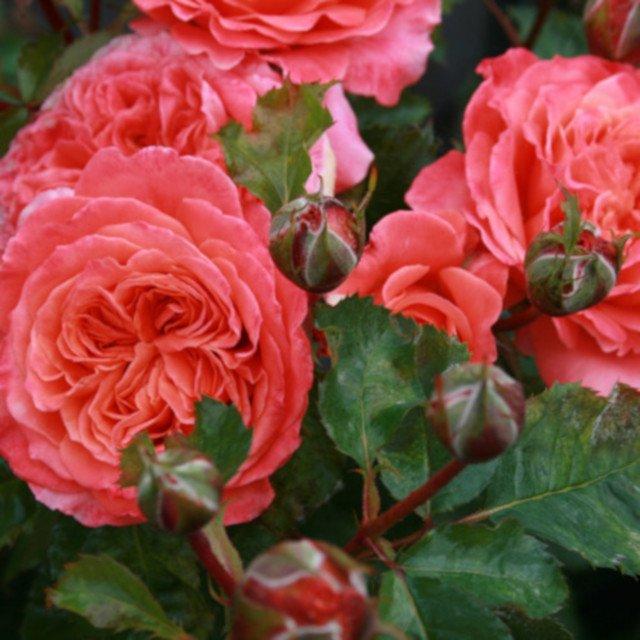 Rose 'Emilien Guillot'