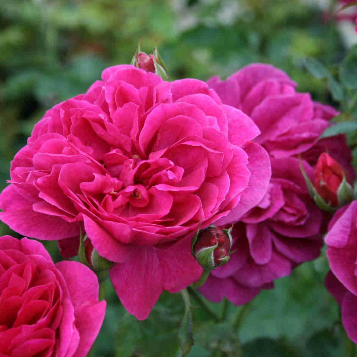 Engelsk rose 'Darcey Bussel'