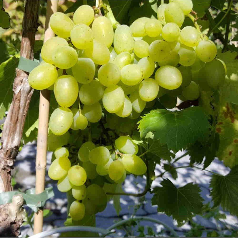 Vindrueplante - Vitis vinifera 'Lilla'