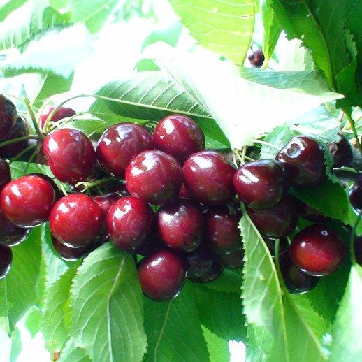 Kirsebærtræ - Prunus avium 'Sunburst'