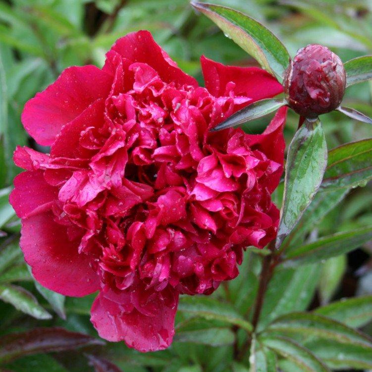 Pæon knold - Paeonia lactiflora 'Big Ben'