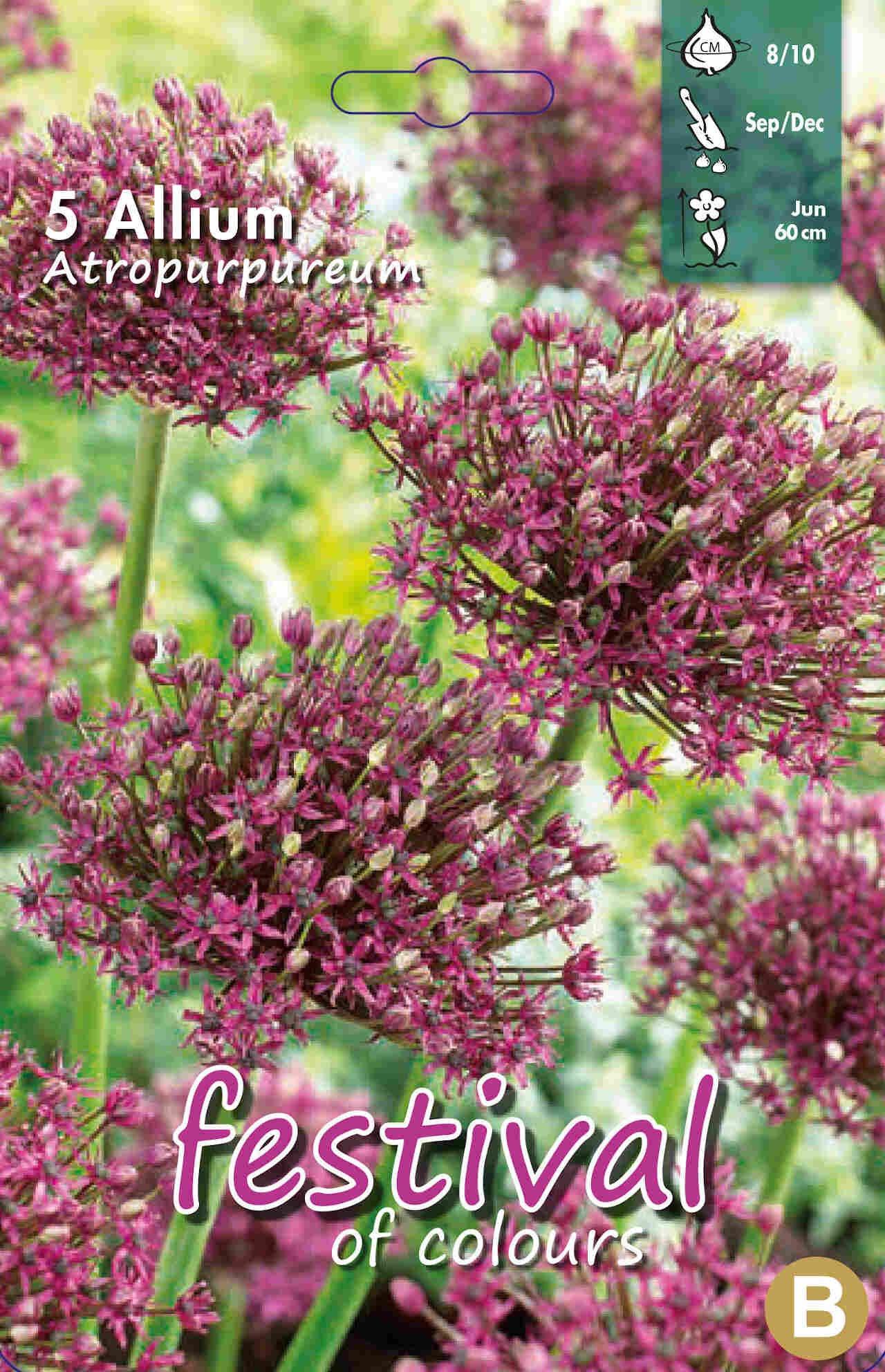 Prydløg - Allium Atropurpureum 8/10