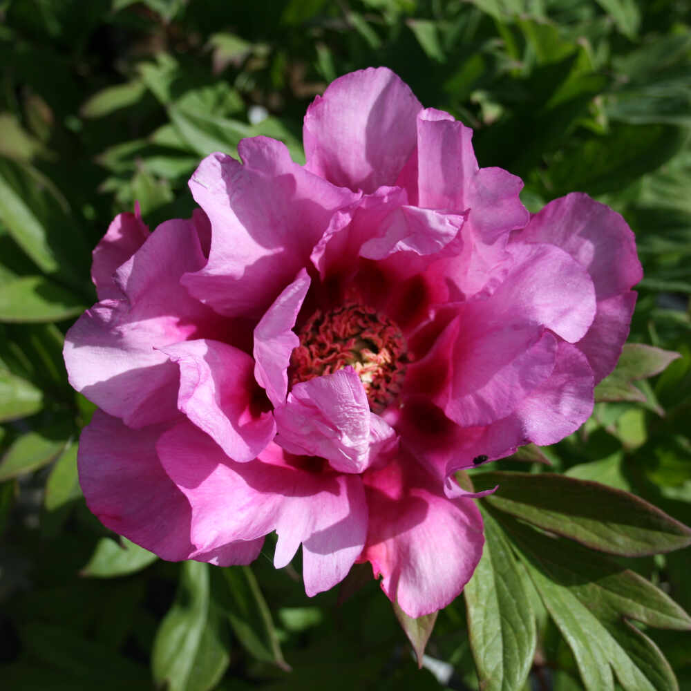 Pæon Itoh-hybrid - Paeonia 'First Arrival'