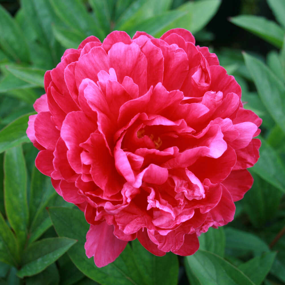 Silkepæon - Paeonia lactiflora 'Bunker Hill'