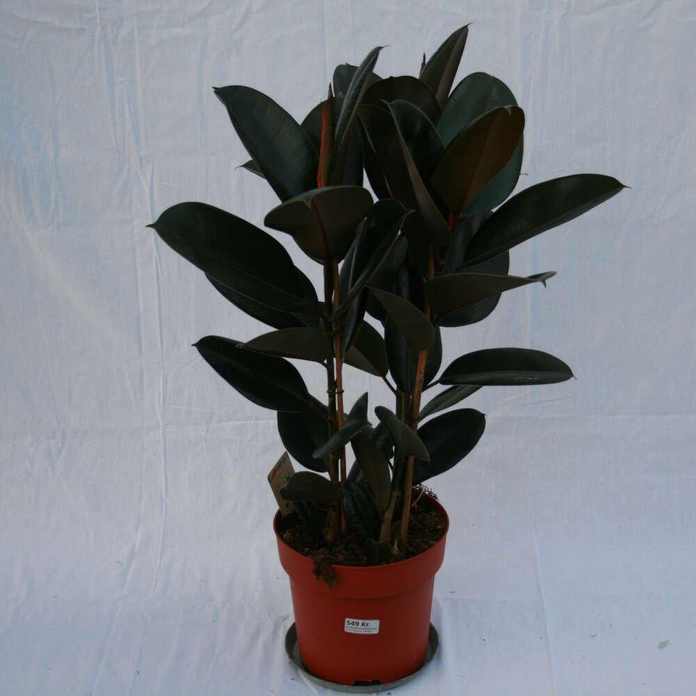 Gummiplante - Ficus elastica 'Abidjan'
