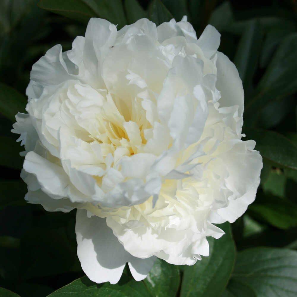 Silkepæon - Paeonia lactiflora 'Duchesse De Nemours'