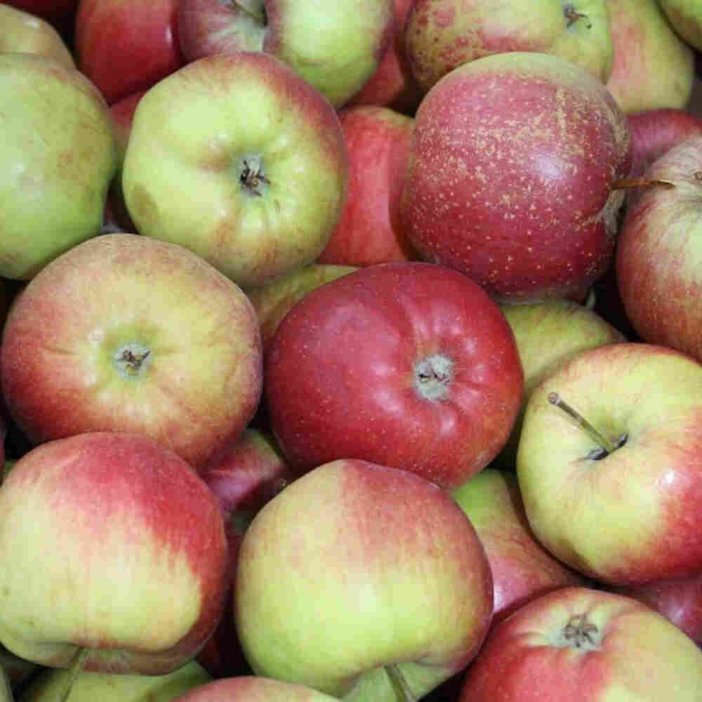 Æbletræ - Malus domestica 'Ritt Bjerregaard'