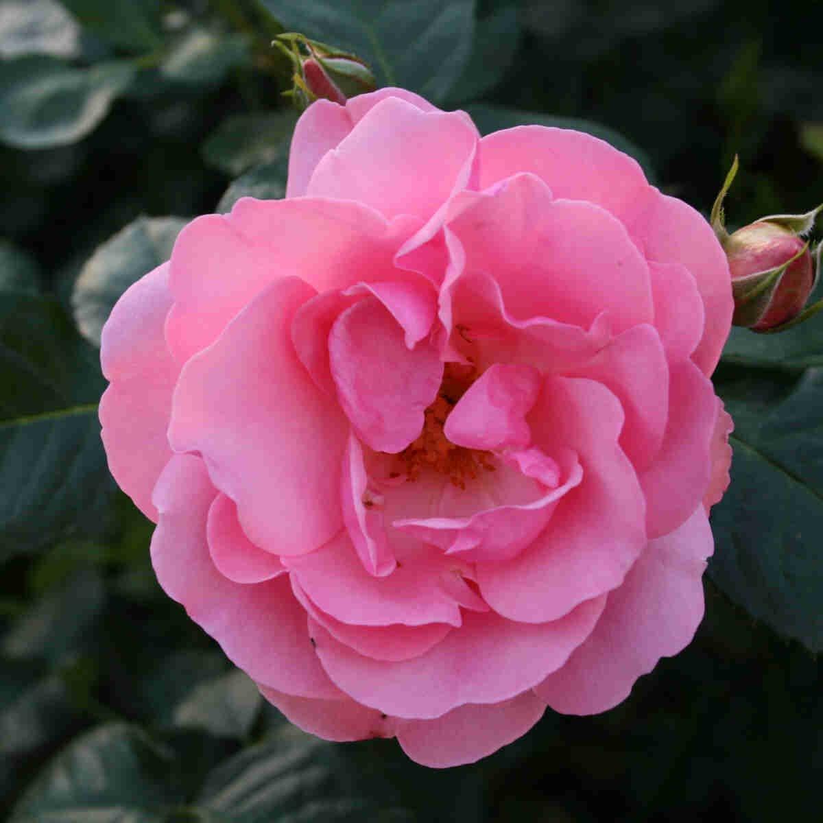 Rose 'Egeskov'