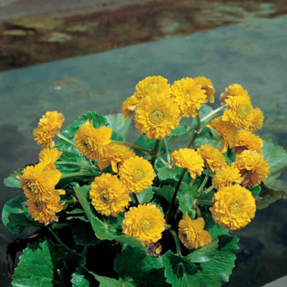 Engkabbeleje - Caltha palustris 'Multiplex'