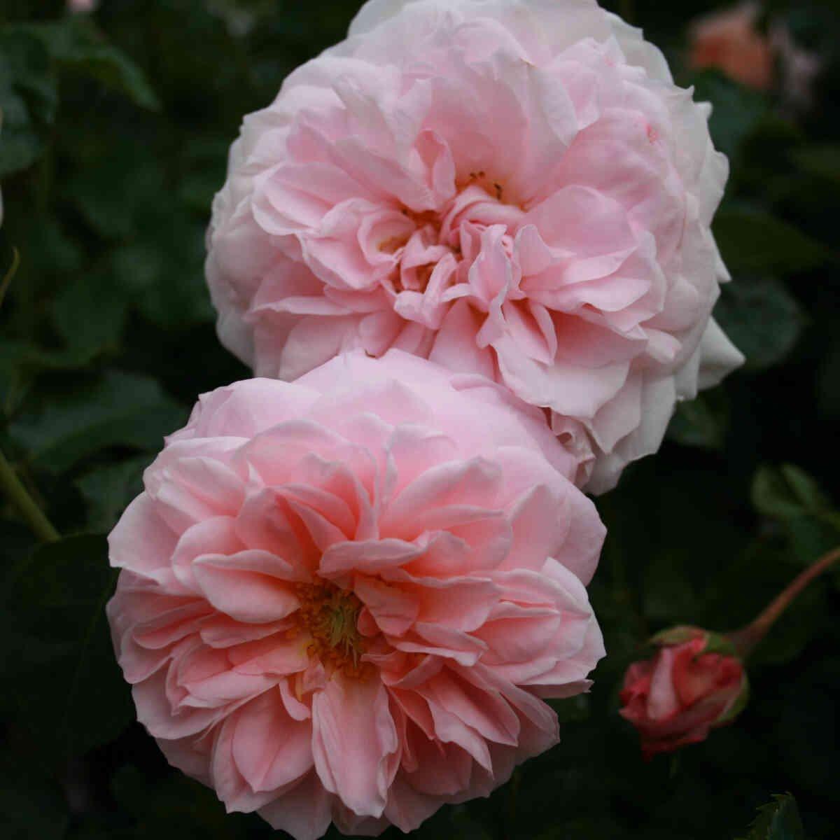 Rose 'Inner Wheel Forever'