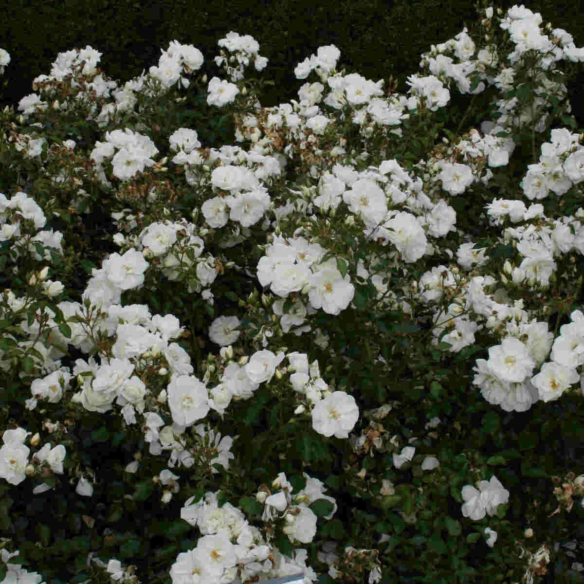 Bunddække Rose 'Schneeflocke'